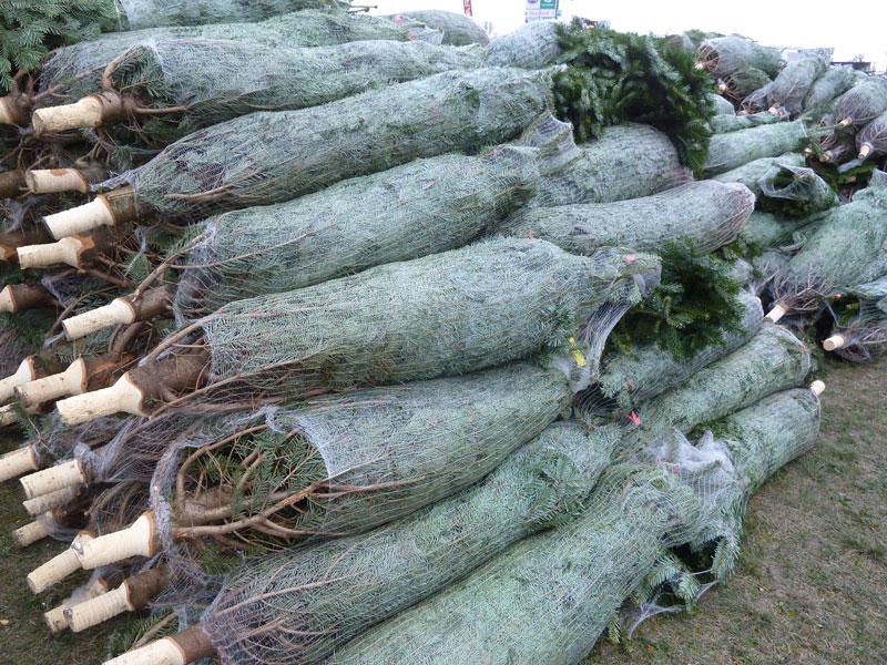 Weihnachtsbäume im Netz zum Verkauf
